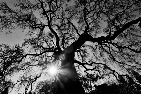 oak tree Menlo Park