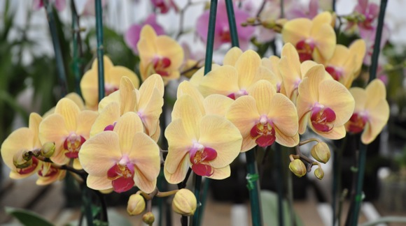 orchids on display at Brookside Orchids in Menlo Park