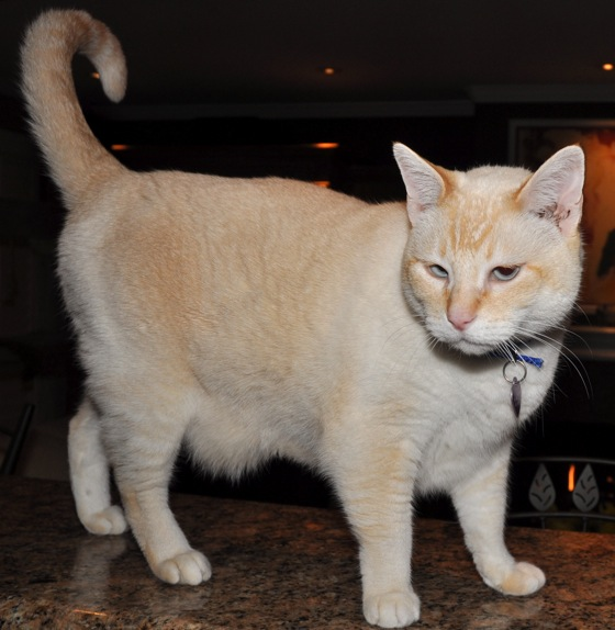 Rockie - a 10-year-old flame point Siamese cat - InMenlo.com