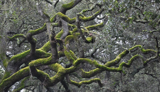 Tangle of moss-covered oak branches on Menlo Oaks Drive
