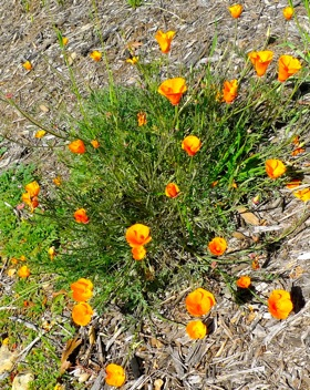 Post image for Bright sunshine wakes up the poppies