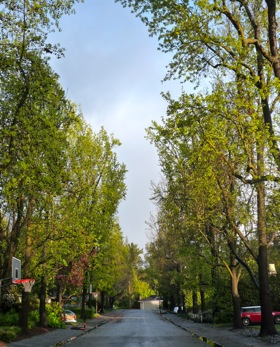 Liquidambar trees on Ambar Road in Menlo Park