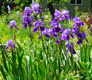 gladioloas in Menlo Park, CA