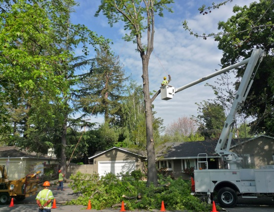 Liquid ambar tree is removed in Menlo Park