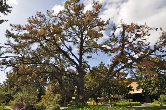 Monterey pine at Menlo Park Civic Center