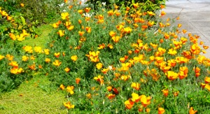 California poppies in Menlo Park front yard
