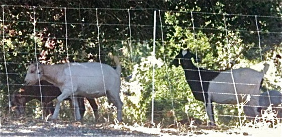goats are used to clear hillsides in Menlo Park