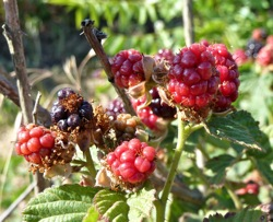 It's berry picking time at Webb Ranch