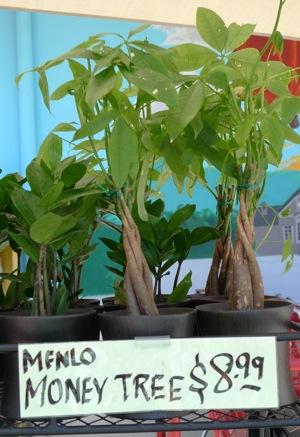 Spotted: Menlo money tree