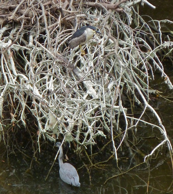Two species of herons in San Francisquito Creek in Menlo Park