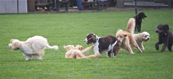 Menlo Park dogs romping at Nealon Park