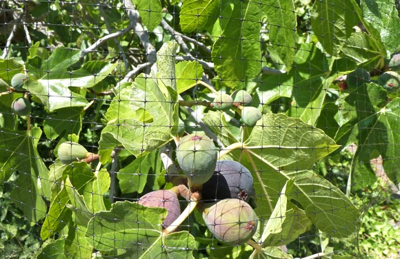 Figs protected by net in Menlo Park garden