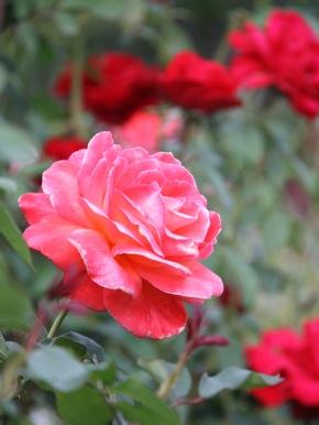 St. Raymond Church rose garden Menlo Park