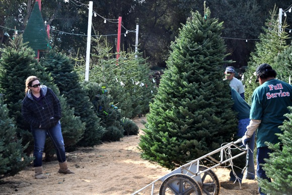 woman picks out tree at Webb Ranch Christmas tree lot