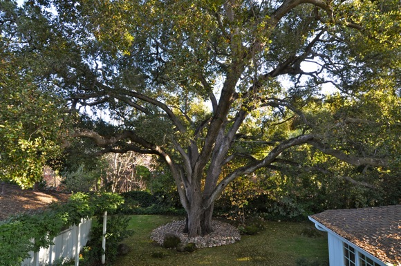 Updated heritage tree ordinance in Menlo Park goes into effect July 1
