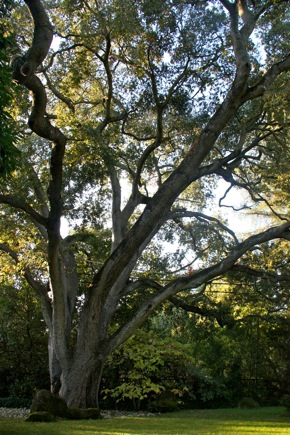 In praise of one of Menlo's magnificent heritage oaks