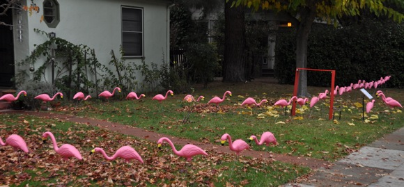 Willows neighborhood sees pink – flamingos that is