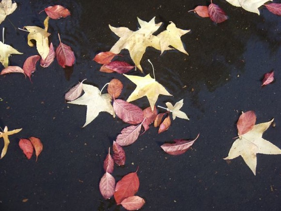 Fall leaves in rain puddle in Menlo Park