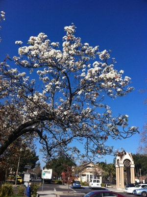 spring blooms in Menlo Park, CA in Jan 2011