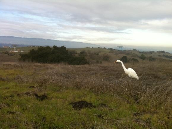 Snowy egret at Big Dish