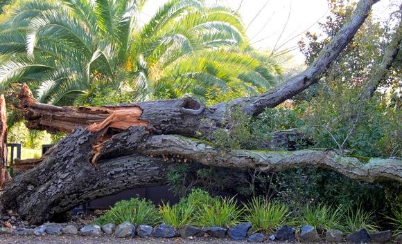 fallen oak in Menlo Park