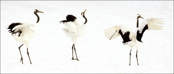Crane Dance photograph by Susan Carnahan