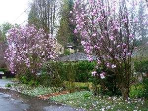 Magnolia trees in Menlo Park during rainy weather
