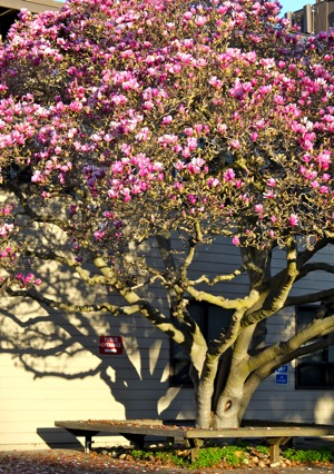 Magnolia tree in Menlo Park