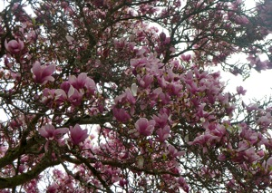 magnolia blossoms against cloudy sky