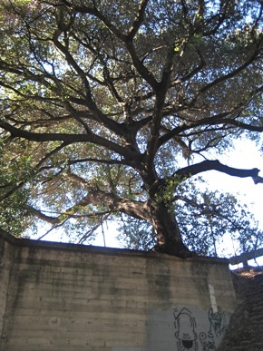 Oak tree growing on Middlefield Rd. bridge
