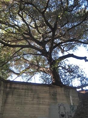 Oak tree growing on Middlefield Rd. bridge