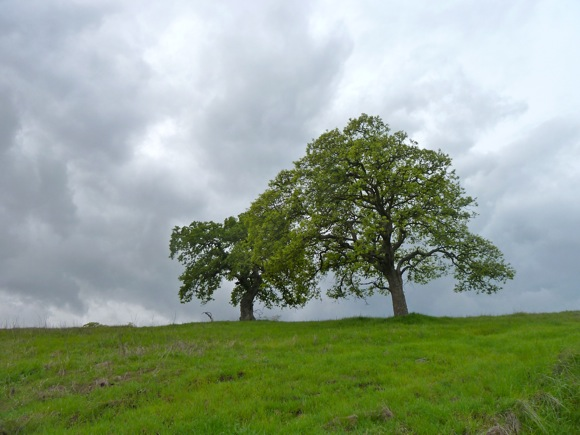 Oak tree before rainstorm hit Menlo Park