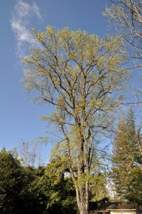 new leaves on liquidambar tree in Menlo Park