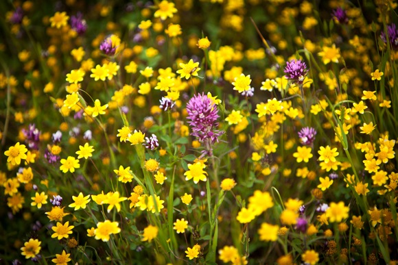 Wildflowers at Jasper Ridge Biological Preserve