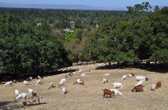 Goats grazing in Menlo Park, CA