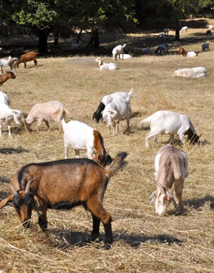 Goats make their annual appearance in Menlo Park