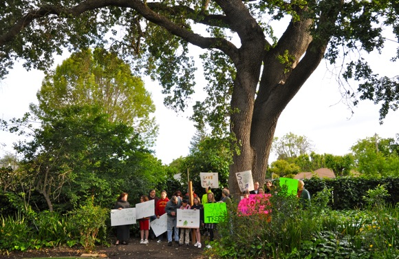 neighbors protest removal of Valley Oak tree in Menlo Park