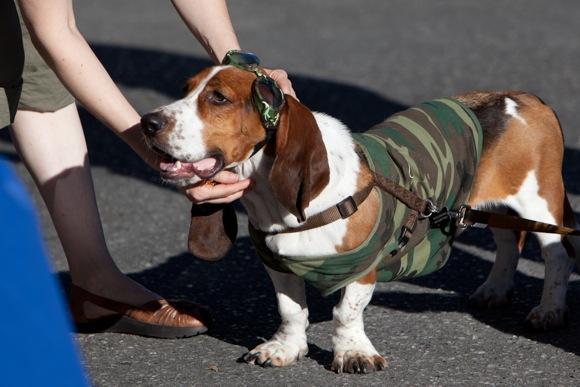 basset hound at Menlo Park block party