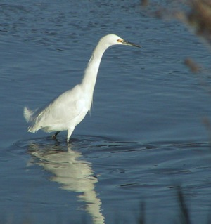 Snowy egret at Bedwell Bayfront Park