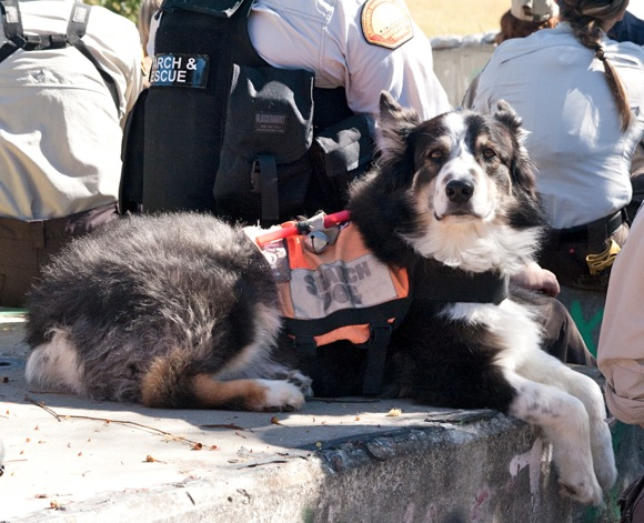Smokey, an Australian Shepherd, participates in search and rescue training