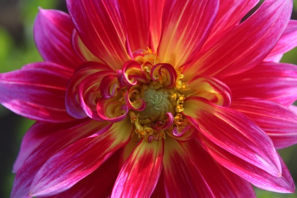 Dahlia from the Dahlia Farm in Half Moon Bay