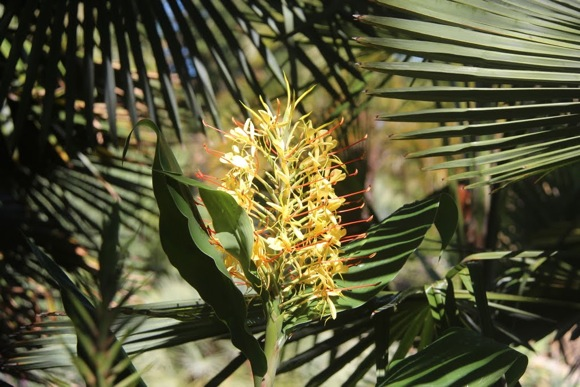 Ginger flower with palm