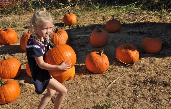Youngster picking at pumpkin at Webb Ranch
