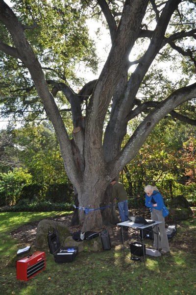 tomography performed on coast live oak