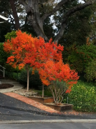tree of fall color in Menlo Park, CA
