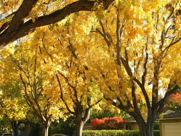 Fall color in Menlo Park, CA