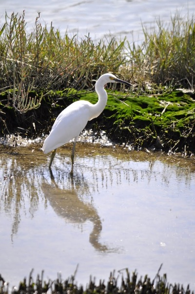 Snowy Egret at Bedwell Bayfront Park photographed by Frances Freyberg