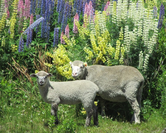 Sheep and lupine in New Zealand (c) 2011 by Frances Freyberg