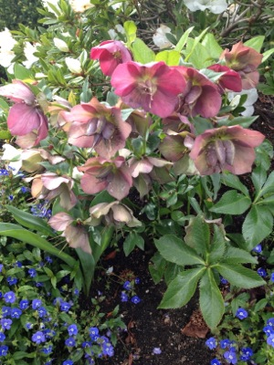 Lenten Rose in Menlo Park