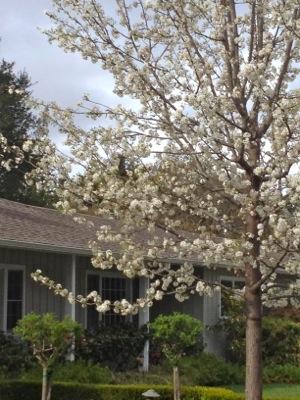 spring blossoms in Menlo Park, CA